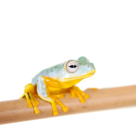 tiny frog: Reinwardts flying tree frogling, Rhacophorus kio, isolated on white background Stock Photo