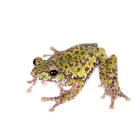 anura: Polypedates duboisi, rare species of frog isolated on white background Stock Photo