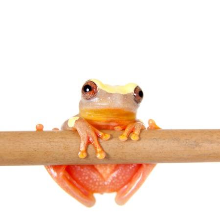 anuran: Shreves Sarayacu treefrog, Dendropsophus sarayacuensis, isolated on white background