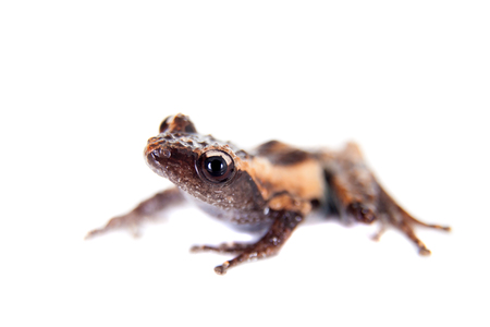 tiny frog: Theloderma trongsinense, rare spieces of frog, isolated on white background