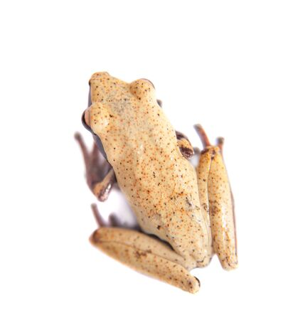 unobtrusive: White-back mossy frog, Theloderma laevis, isolated on white background Stock Photo