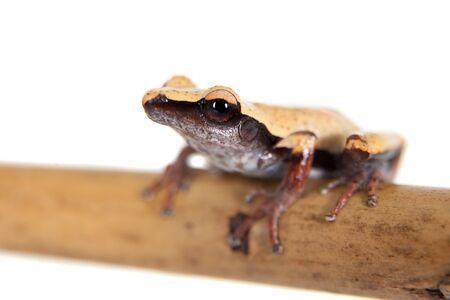 White-back mossy frog, Theloderma laevis, isolated on white background Stock Photo