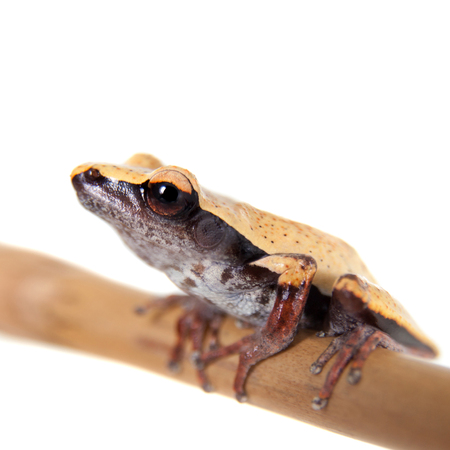 tiny frog: White-back mossy frog, Theloderma laevis, isolated on white background Stock Photo