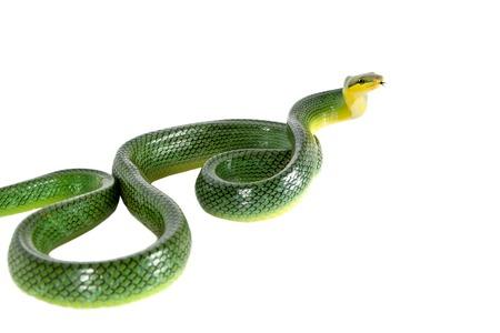 flicking: Red-tailed Green Ratsnake, Gonyosoma oxycephalum, on white
