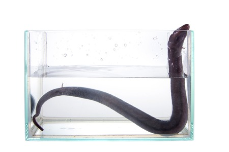 means: The two-toed amphiuma, amphiuma means, isolated on white background
