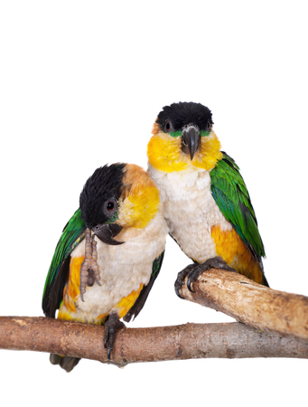 The black-headed caique, Pionites melanocephalus, on white background