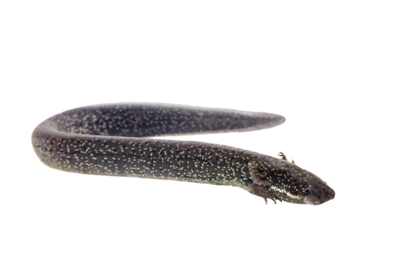 big toe: The lesser siren, Siren intermedia, isolated on white background Stock Photo