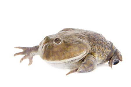 animals amphibious: The Budgetts frog, wide-mouth frog, or hippo frog, Lepidobatrachus laevis, isolated on white background