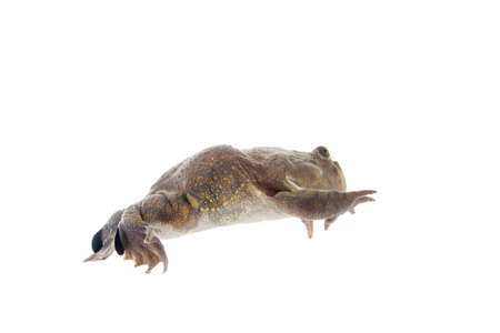 laevis: The Budgetts frog, wide-mouth frog, or hippo frog, Lepidobatrachus laevis, isolated on white background