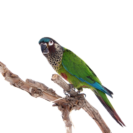 frendly: The painted conure, pyrrhura picta, isolated on white background Stock Photo