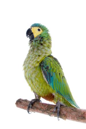 Red-bellied macaw, orthopsittaca manilata, isolated on white background Stock Photo
