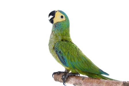 frendly: Red-bellied macaw, orthopsittaca manilata, isolated on white background Stock Photo