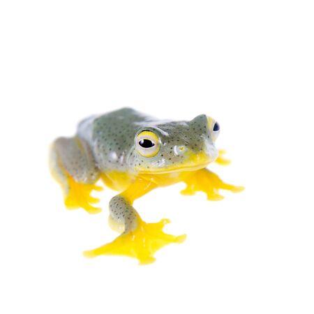 croaking: Malabar flying tree frogling, Rhacophorus malabaricus, isolated on white background Stock Photo