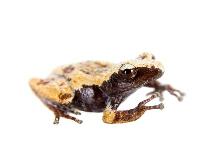 unobtrusive: Theloderma chyangsinense, rare spieces of mossy frog, isolated on white background