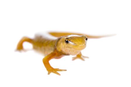 merman: The smooth or common newt, Lissotriton or Triturus vulgaris, isolated on white
