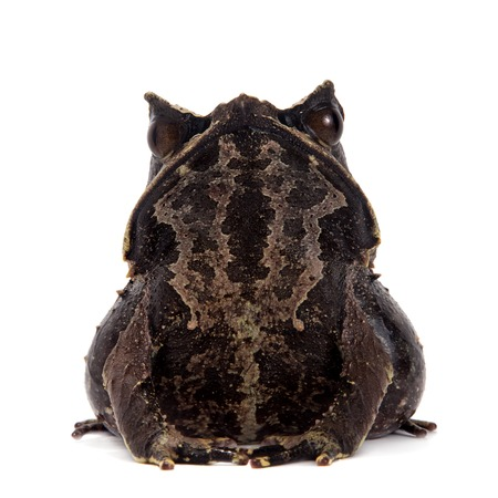 horned frog: The long-nosed horned frog, Megophrys nasuta, isolated on white background Stock Photo