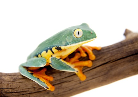 calcarifer: The splendid leaf frog, Cruziohyla calcarifer, isolated on white background