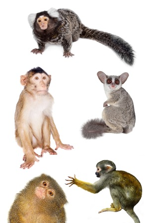 Set of different primates, isolated on white background