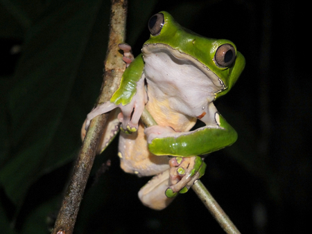 bicolor: Bicolor monkey tree frog sitting on a jungle tree branch Stock Photo