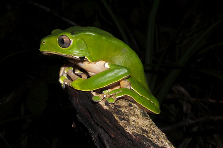 Bicolor monkey tree frog sitting on a jungle tree branch Stock Photo