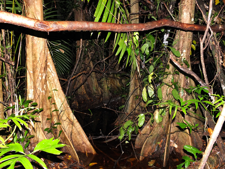 Gorgeus Surinam rainforest at night, water and roots