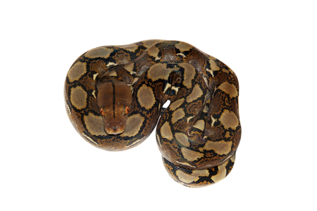 Reticulated Python, Python reticulatus, isolated on white background Stock Photo