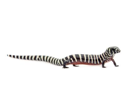 lessonae: The Brazilian galliwasp, Diploglossus lessonae, isolated on white background