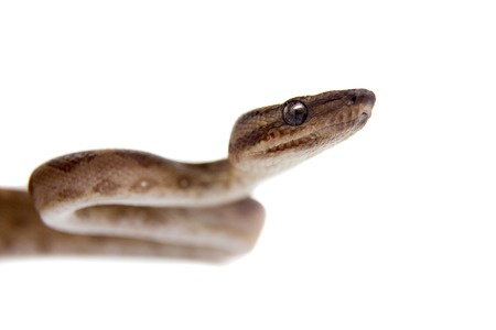 sliding scale: Annulated Boa corallus annulatus isolated on white background