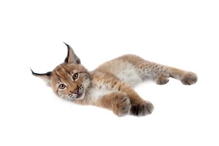 bobcat: Eurasian bobcat cub, lynx lynx, isolated on white background