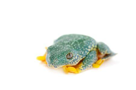 The fringe tree frog, Cruziohyla craspedopus, isolated on white background Stock Photo