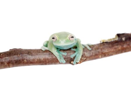 Alytolyla treefrog, Hyloscirtus alytolylax, isolated on white background Stock Photo