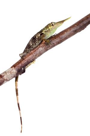 Pinocchio lizard, Anolis proboscis, isolated on white background