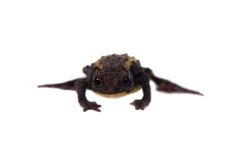 anuran: The Guacamayo Plump Toad, Osornophryne guacamayo, isolated on white background