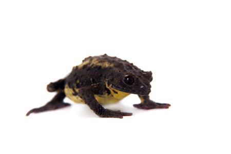 The Guacamayo Plump Toad, Osornophryne guacamayo, isolated on white background
