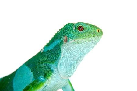 tonga: The Fiji banded iguana, Brachylophus fasciatus, isolated on white
