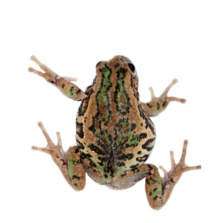 marsupial: Riobamba marsupial frog, Gastrotheca riobambae, isolated on white