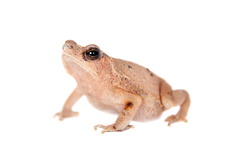 anuran: Beauty toad, bufo sp, isolated on white background Stock Photo