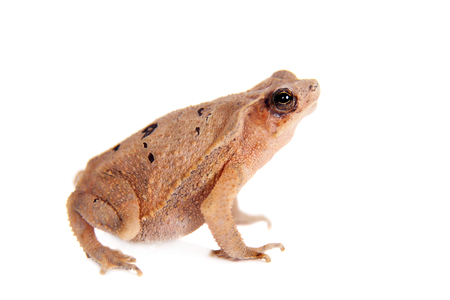 bufo toad: Beauty toad, bufo sp, isolated on white background Stock Photo