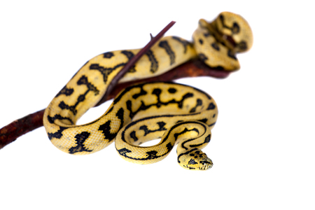 pythons: Jungle Jaguar Carpet Python, Morelia spilota cheynei, isolated on white background