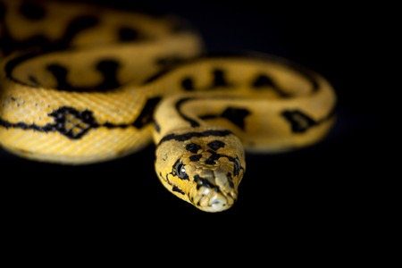 pythons: Jungle Jaguar Carpet Python, Morelia spilota cheynei, on black background