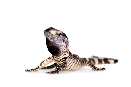 Newborn Black Throat Monitor Lizard, Varanus albigularis, isolated on white background