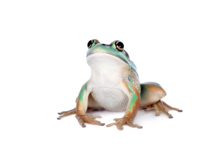 The green and golden bell frog, Litoria aurea, isolated on white background Stock Photo