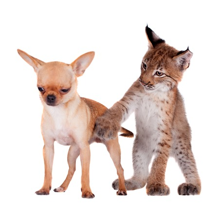 Eurasian Lynx cub playing with chiahuahua dog on white Stock Photo