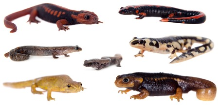 newts: Newts and salamanders set, isolated on white background