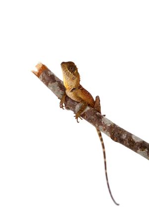 Acanthosaura nataliae lizard isolated on white background