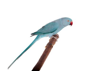 The rose-ringed or ring-necked parakeet on white