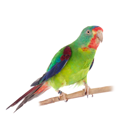 cutouts: Swift Parrot on white background Stock Photo