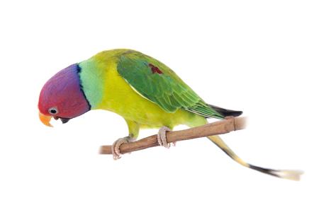 Male of plum-headed parakeet on white
