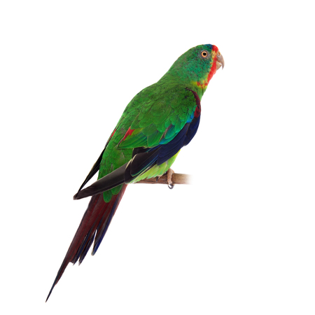 Swift Parrot on white background Stock Photo