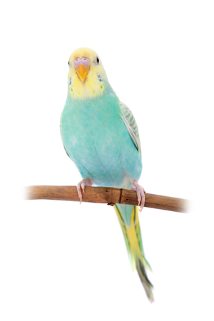 bough: Rawinbow budgerigar on white